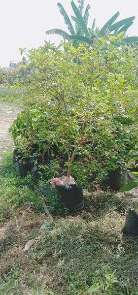 Pohon Anggur Brazil