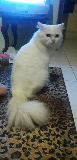 Jasa Pemacakan Kucing Persia Medium