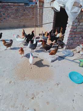 35 Desi hen egg laying, age 9 month