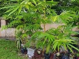 Bunga Bambu Kuning