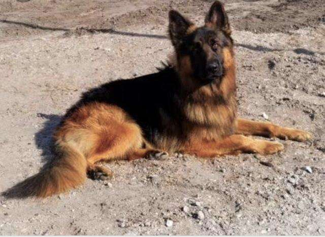 German sheperd long coat male pedigree 0