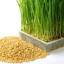 Wheat  grass for Healthy Day