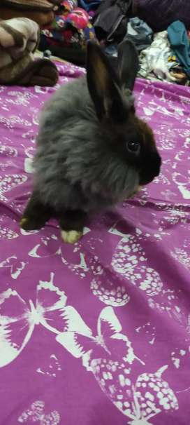 Lion Angora black beauty Pair for sale Y ti to Bread