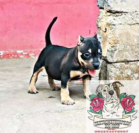 Puppy Pitbull black tan & redtan