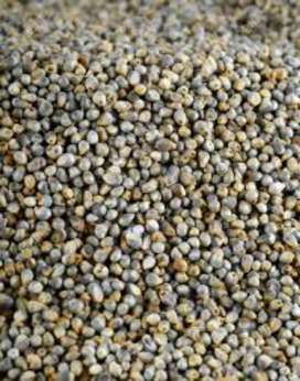 Bajra for sale in affordable price