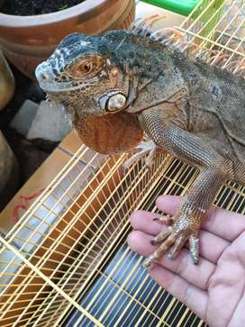 Dijual Iguana Red Jinak Anteng
