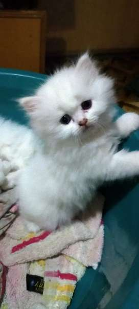Persia kittens1 pic 10000/rs