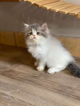 Kitten flatnose jantan blue van