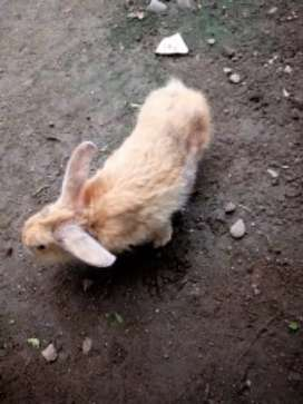 Jual kelinci sepasang