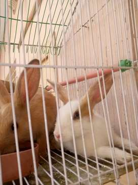 Rabbits available for sale