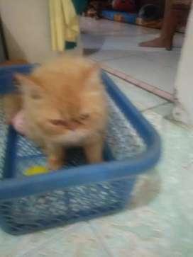 Pacak kucing gratis