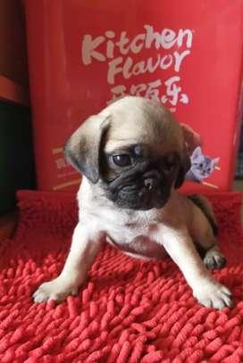 Open booking untuk anak anjing Pug