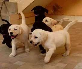 Show class and top class labrador puppies available