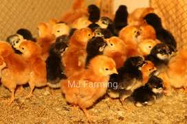 RiR 100%Pure Breeds chicks Available and Fertile Eggs also
