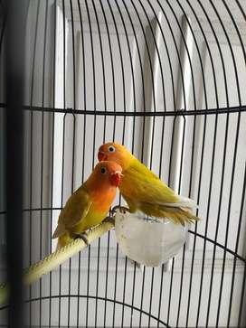 Jual burung lovebird