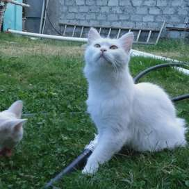 persion cat, pure white, one years,