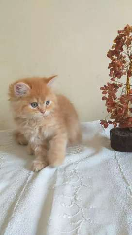 Cute and healthy Persian cats are available.