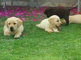 Highly pedigree top notch Labrador pups from euriopean imported lines