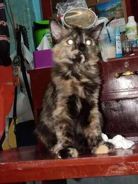 Kucing betina lincah dan aktif