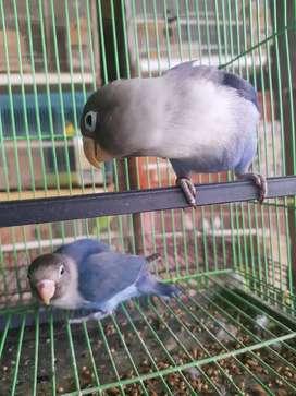 Lovebird violet dan mangsi