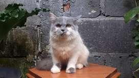 kucing persia medium bicolor blue betina lucu