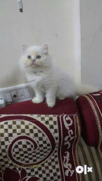 White Persian Kitten Best Long Hairs 0