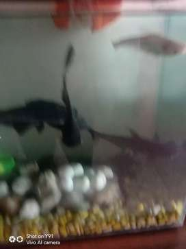 Shark urgent to be sale