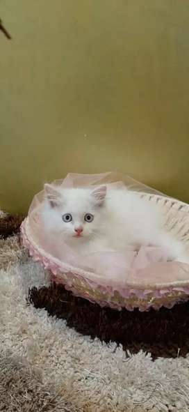 Cute healthy Persian cats are available.