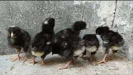 Barred Plymouth Rock Chicks,Heritage American Breed,100%Pure Bloodline