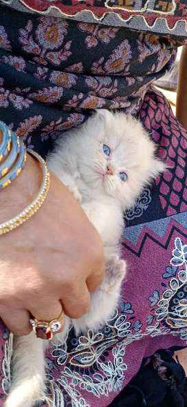 We have pure Cute persian kitten cat