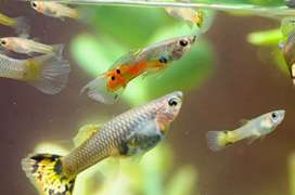 Normal guppies at low price