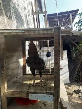 Ayam bangkok mangon