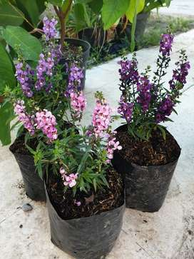 Bibit Tanaman Lavender Angolia