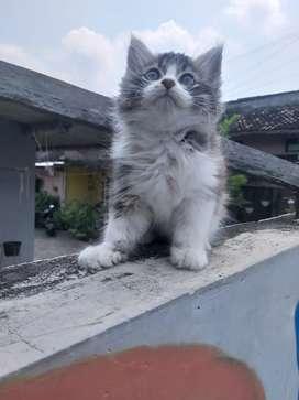 kucing persia mix Maincoon