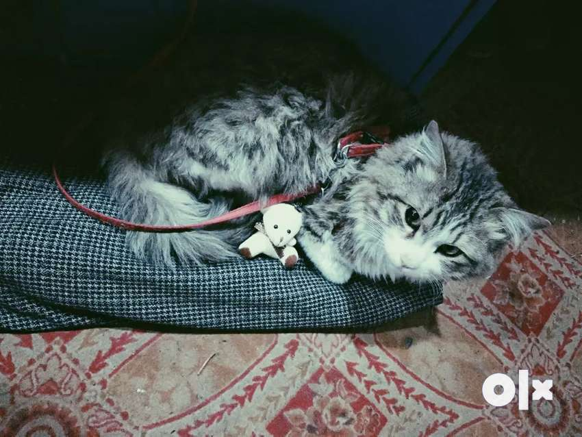 Siberian Male Cat. 10 months Old 0