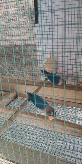Di jual lovebird mangsi 9 ekor campur dewasa/paud