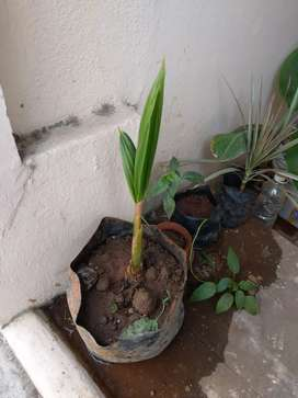 Hybrid coconut plant 200rs