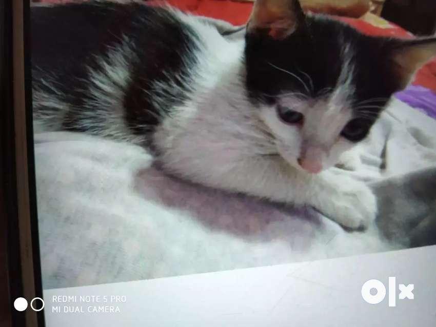 Kitten for sale 0