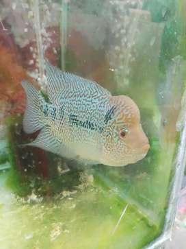Ikan lohan kamfa f3 thailand