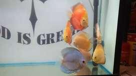 Breeding size discus fish