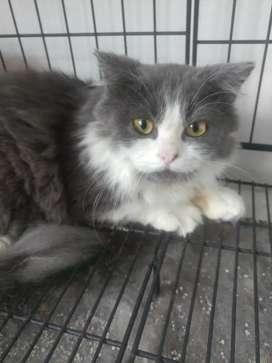Kucing Persia Jantan 5 bulan
