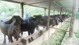 Dairy farm with buffalo & building Fateh Jang