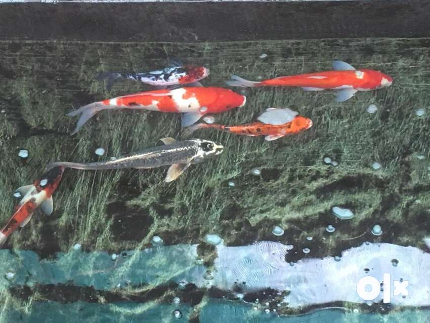 Imported koi fishes mixed size for sale 0