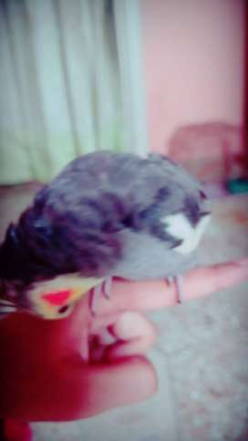Cocktail Bird Hand Tame for Sale