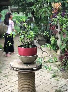 Tanaman bonsai beringin