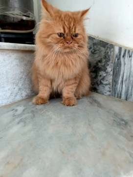 pure persian punched male cat