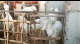 Goat for sale 5 female 2 male