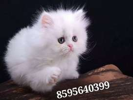 Friendly Trained Persian Kittens and Cats Available