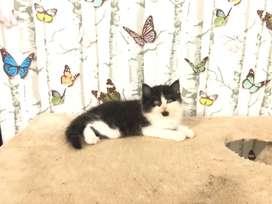 Kucing kitten persia black n white jantan
