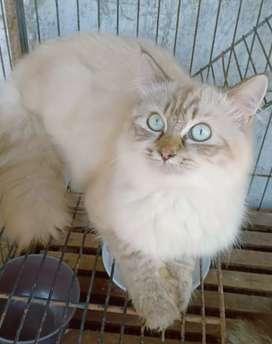 Kucing persia Himalaya jantan umur setahun